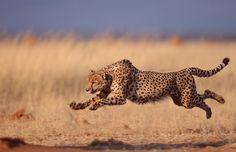 Analogia budowy stopy sprintera i geparda | Bodyrelax