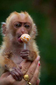 Monkey with a lollipop