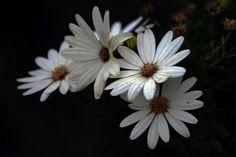 Daisies and daisies -