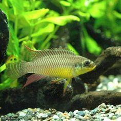 Pelvicachromis taeniatus Lokoundje male