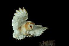 Barn Owl (Tyto alba) in flight. Photo by Andy Harmer.
