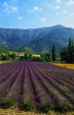 Crop of Lavender, Le Plateau de Sault, Provence, France