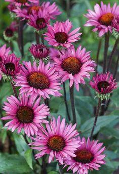 Echinacea purpurea 'Fatal Attraction' - Top ten plants of the Dutch wave - Telegraph