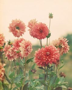 Dahlias can be annuals - or live again the next season if you dig up the tubers and store them over the winter