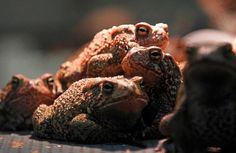A collaborative effort is under way to save the Houston toad, the numbers of which have been decimated by urbanization, drought and pollution.