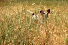 Running to me #jackrussellterrier #dogs #pets #cute