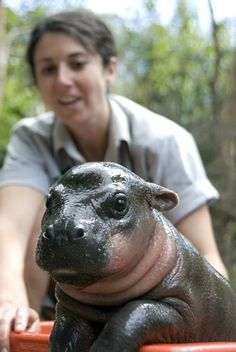 Little hippo in a tub.