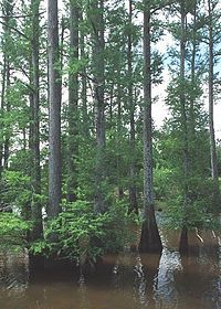 Cipresso delle paludi - Taxodium distichum - Cupressaceae
