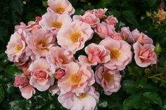 Checkmate (Diclanky) 2013           £10.00  Gold Medal Winning Climber - The Hague International Rose Trials 2012  Delicate peachy pink with a pale yellow base.   Height ranges from 170 cm  to 240 cm.