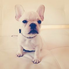 King Louie, the French Bulldog Puppy