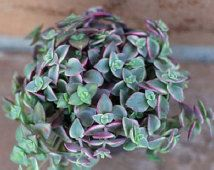 "Succulent Plant - ""Calico Kitty' crassula marginalis rubra"