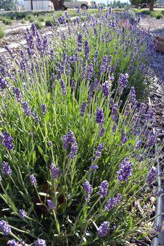 A June shot from the Belli Fiori Lavender Field