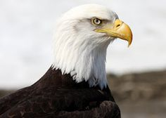 """Majestic"" Bald Eagle (from And Sew Forth)"