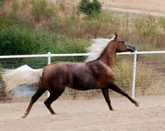 """Moonstruck Meadow"" - a chocolate palomino. Her dam is an Arabian and her sire is a Quarter Horse"