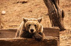 Bear pose by Panagiotis Zoulakis on 500px