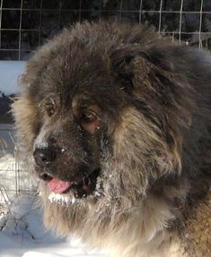 Caucasian Shepherd Dog / Ovcharka /There is a great variety of types among the Caucasian dogs depending on their home region Caucasian Mountain Dogs, Caucasian Shepherd Dog, Russian Dog Breeds, Russian Bear Dog, Huge Dogs, Giant Dogs, Beautiful Dogs, Animals Beautiful, Big Animals