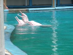 Pink Dolphins at Singapore Zoo - Things to do in Singapore with kids (family Travel
