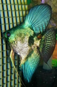 Summary: Many people are delighted by keeping live and colorful tropical fish at their home. Countless species of fish are kept at home as pets. There are several Tropical fish online stores that sell tropical fish online. Tropical Freshwater Fish, Tropical Fish Aquarium, Diy Aquarium, Freshwater Aquarium Fish, Aquarium Fish Tank, Cichlid Aquarium, Fish Aquariums, Aquarium Ideas, Pretty Fish