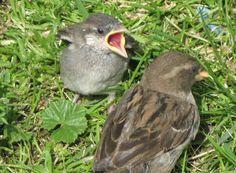 House Sparrow Bird | House Sparrows.