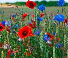 7,95 € Diese zehn Kugeln haben's in sich! Sie bestehen aus einer Saatgut-Mischung aus 13 Sorten einjährigen Blumen und Ziergräsern und einer Erdemischung. Weiße Margeriten, roter Mohn, blauer Lein und Thymian bilden dabei ein duftiges Ensemble.