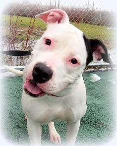 Myrtle is an adoptable Pit Bull Terrier searching for a forever family near Jersey City, NJ. Use Petfinder to find adoptable pets in your area.