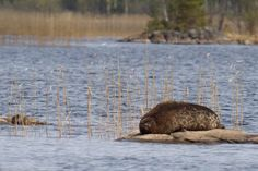 One of the most endangered species in the world (as they die in fishermen's nets and have difficulties to reproduce because of the warm winters). Endangered Species, Wonderful Time, Finland, Cars And Motorcycles, Holiday Ideas, Cute Pictures, Seal, Warm, Holidays