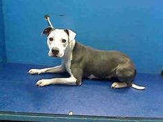 JADE is an adoptable Pit Bull Terrier Dog in Brooklyn, NY.  ...