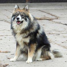 Finnish Lapphund 08