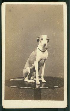 1875 whippet