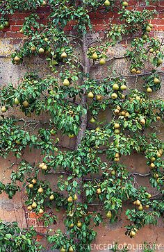 Google Image Result for http://www.sciencephoto.com/image/72727/large/B9360019-Espalier_trained_pear_tree-SPL.jpg