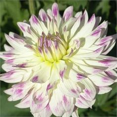 'Margaret Ellen' dahlia. I have a very similar NOID dahlia out of Lowe's dinnerplate mix. If my tubers will fail in storage I need to buy this one