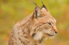 Lynx (Harz)
