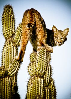 """I searched for """"cactus cat"""" and this was the first thing that popped up."""