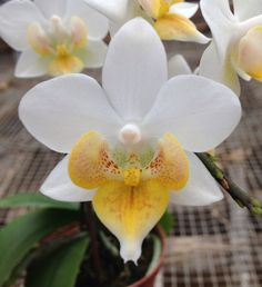 Moth-Orchid: Phalaenopsis Liu's Fantasy (Be Glad x Timothy Christopher) - Flickr - Photo Sharing!