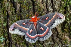 Hyalophora cecropia, Silkmoth from North America