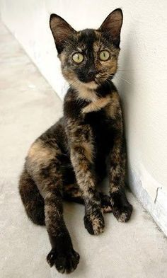 I love the explosive pattern of tortoise shell cats. They may look a bit odd to some, but to me they're one of the most beautiful breeds of cats there is! Cute Cats And Kittens, I Love Cats, Crazy Cats, Cool Cats, Kittens Cutest, Pretty Cats, Beautiful Cats, Animals Beautiful, Cute Animals