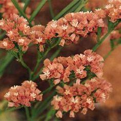 Statice - Apricot Beauty- 25 Seeds
