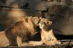 lion love | lions in love