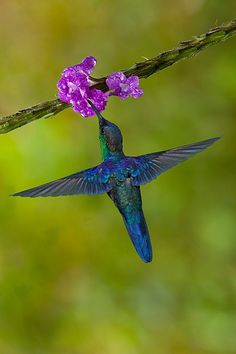 Violet-crowned woodnymph (Thalurania colombica), Costa Rica© Jim Zuckerman