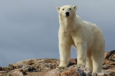 Carleton University researchers Samuel Iverson, Grant Gilchrist and Mark Forbes have revealed there's been a large increase in polar bear visits to bird Carleton University, Sea Ice, Polar Bears, Research, Climate Change, Arctic, Safety, Menu, Bird