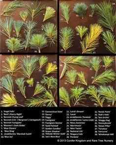 Pinus strobus and Pinus strobiformis comparison. Become familiar with different white pine cultivars from Conifer Kingdom.