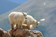 Don't miss baby mountain goats on Big Sky Resort's Lone Peak Expedition.