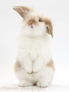 Young Fluffy Rabbit Standing Up Photographic Print by Mark Taylor - Kaninchen Cute Baby Bunnies, Funny Bunnies, Cute Baby Animals, Animals And Pets, Lop Bunnies, Farm Animals, Fluffy Rabbit, Fluffy Bunny, Pet Rabbit