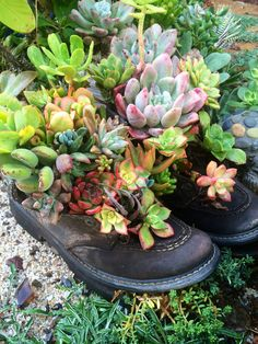 My succulent garden boots! By Designer Laura Eubanks at Design for Serenity. Succulent Bowls, Succulent Gardening, Succulent Arrangements, Cacti And Succulents, Planting Succulents, Container Gardening, Gardening Tips, Succulent Seeds, Outdoor Plants