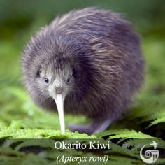Kiwi are flightless birds endemic to New Zealand, in the genus Apteryx and family Apterygidae. At around the size of a domestic chicken, kiwi are by far the smallest living ratites and lay the largest egg in relation to their body size of any species of b Love Birds, Beautiful Birds, Animals Beautiful, Amazing Animals, Cute Animals, Kiwi Bird, Flightless Bird, Tier Fotos, All Gods Creatures