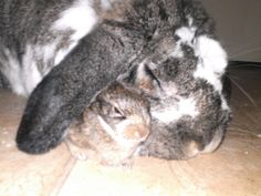 Loppy playing daddy to one of the orphaned cotton tailed rabbits ( the runt)