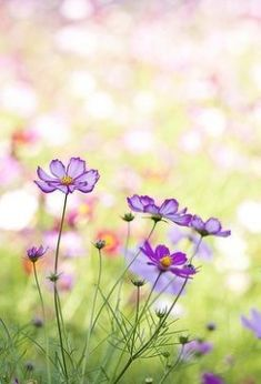 field of cosmos flowers Cosmos Flowers, Flowers Nature, Wild Flowers, Field Of Flowers, Fresh Flowers, Amazing Flowers, Purple Flowers, Beautiful Flowers, Exotic Flowers