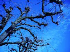 https://flic.kr/p/CKpCrW | blue winter sky | a leafeless tree and the wonderfull blue wintersky, taken on a sunny day in Bern/Switzerland.