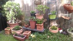 My jades and sun-loving plants in their little pots all enjoying their new spot in the garden.