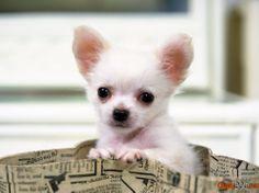 La más pequeña raza de perro